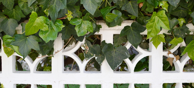 How To Plant Fast Growing Ivy To Cover Your Fence Doityourself Com