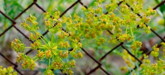 yellow flowers alongside a wire mesh fence
