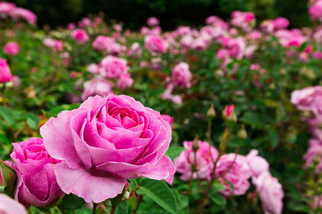 Are coffee grounds good for rose bushes?