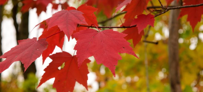 A maple tree with red leaves.
