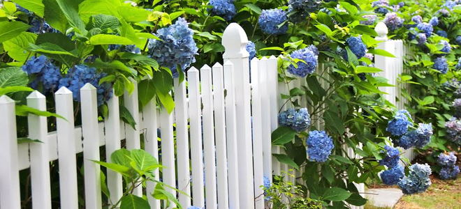 A white picket fence with a blue flowering hydrangea plant.