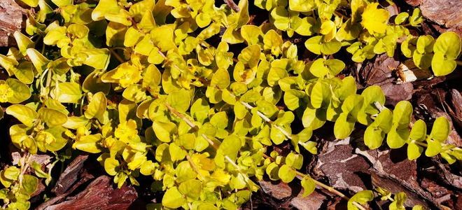 Wood chips surrounding a yellow leafy plant. - Wood Chip Vs. Gravel Landscaping DoItYourself.com