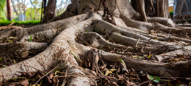 large root system on a big tree seen from the ground