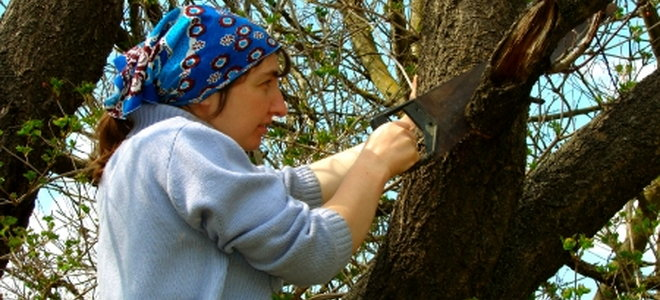 A woman cutting old branches from tree.