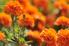 orange marigolds growing in the sun