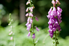 lavender colored foxgloves in a yard
