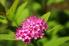hot pink spirea bloom
