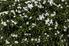 jasmine bush with white flowers blooming