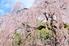 beautiful weeping cherry tree against blue sky