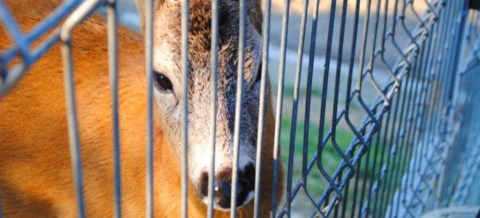 deer peeking through a fence