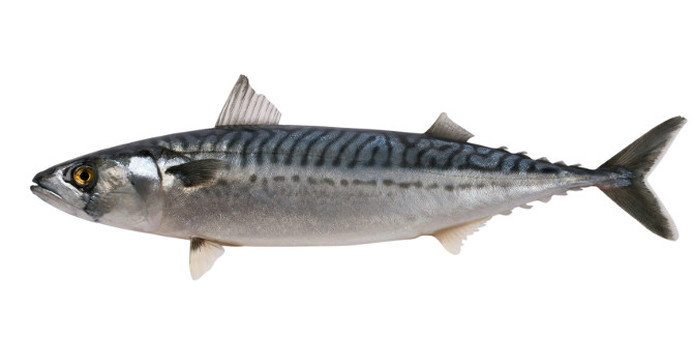 mackerel_000015207827_Small.jpg