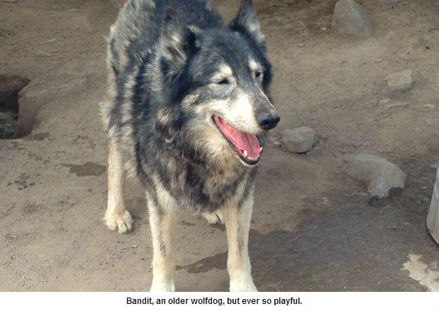 Bandit the wolfdog