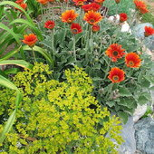 A chartreuse euphorbia and African Daisy Arctotis \'Pumpkin Pie\'