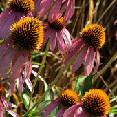 Coneflower in the meadow