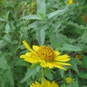 False Sunflowers ...