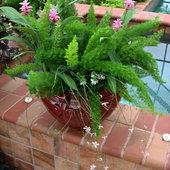 Foxtail ferns and Circuma...