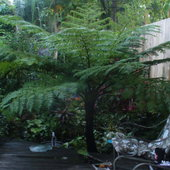 Pride and joy, bought in the quick sell section of Home Depot, scraggly tree fern survived snow, freezes, hurricanes and drought, but perished when I rented the house for a year. Sold as C. Cooperi, über DG determined it to be C. australis, which is hardier than Cooperi. Now, to find one on purpose!?