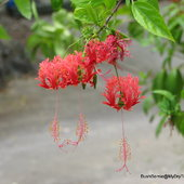 Hibiscus schizopetalus or Japanese Lantern