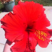 Brilliant red hibiscus
