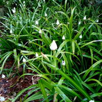 Along the side yard path, masses of walking irises...here just about to burst into bloom.