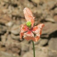 Still standing - once vibrant orange Poppy (Papaver dubium) .. a proud little thing