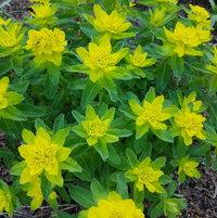 Perennial euphorbia polychroma