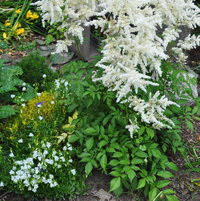 The white Astilbe flowers aregrowing in the front garden. Theylight up the area even in the shade.