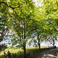 London Plane Tree (Platanus×acerifolia)