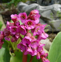 April-2004.                             Bergenia cordifolia-Pigsqueak