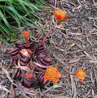Blood Lily (Haemanthus coccineus)