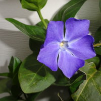 First periwinkle blooms