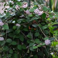 Hoyanummularioides
