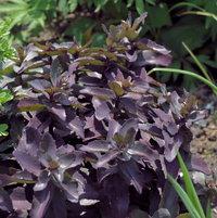 6.20.13 Sedum 'Purple Emperor' growing under my Albizia.