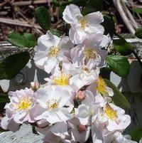 Hybrid Musk Rose 'Maid Marion' bred by Rev. Joseph Hardwick