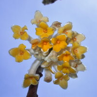 Edgeworthia bloom
