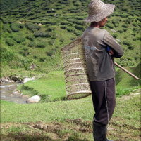 Tea Plantation Worker, Cameron Highlands Malaysia