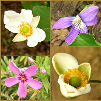 Fall colors of Anemone, Wild Violet and Creeping Phlox ..in December 2015