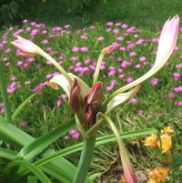 Crinum lily stretching and yawning.