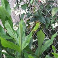 Flowers of Bleeding Heart behind Ginger Plant leaves
