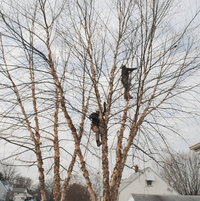 The guys climb the trees without ladders. They are using an European method.