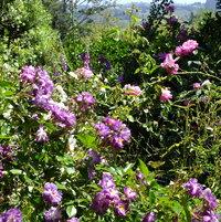 Rambler Rose 'Veilchenblau' bred by Johann Christoph Schmidt, Germany pre 1909