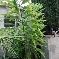 Wallichia disticha... great palm, but staying where it is