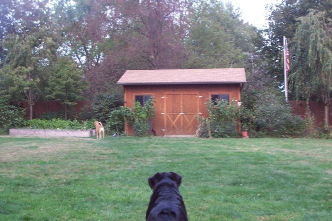 The dogs enjoying their backyard