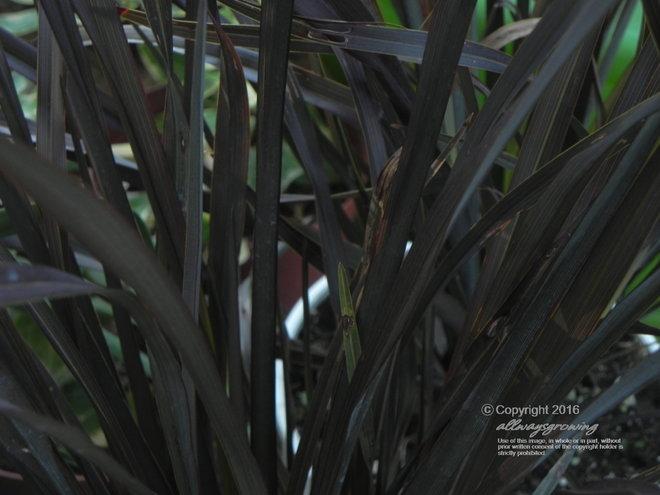 Phormium cookianum 'Platt's Black'