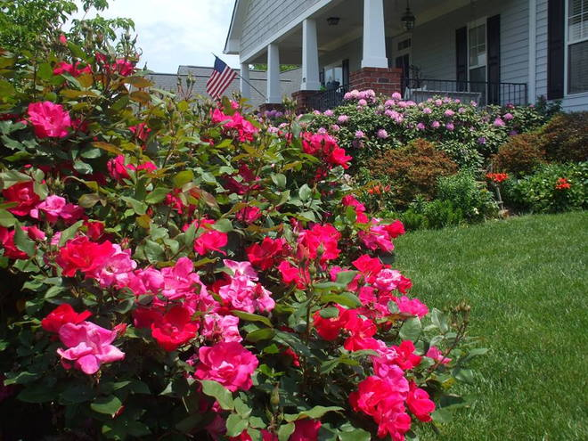 Knock Out Roses with Rhododendron