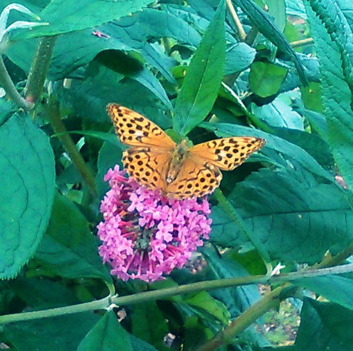 "Fritillary loving the highly fragrant nectar rich ""Pink Delight"" Buddleia"