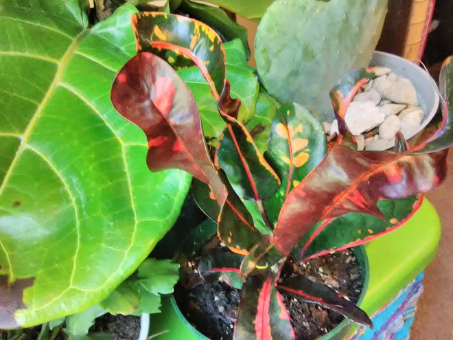Croton Mammy, Codiaeum 'Mammy'