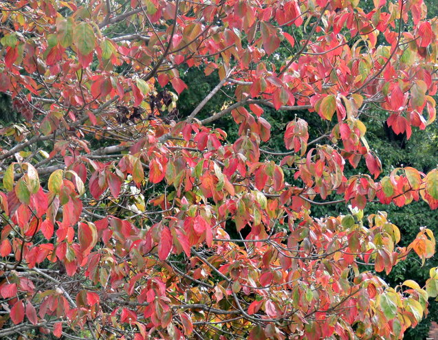Oh, ye Dogwood leaves - stop turning color !