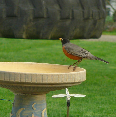 Mr. Robin...a regular in 2012 =D