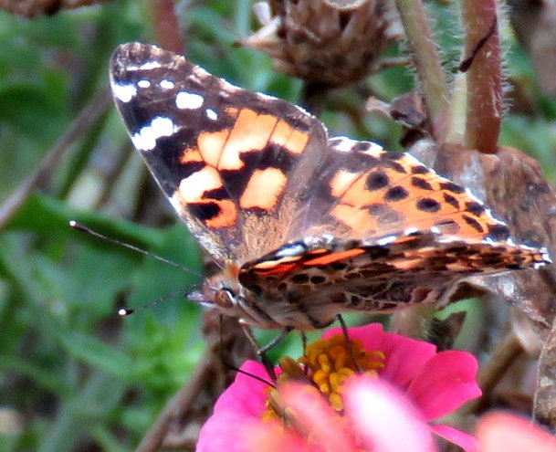 Painted Lady ..